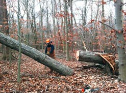 One of several chainsaw experts who generously donated time to GSWA's Thanksgiving weekend workday.