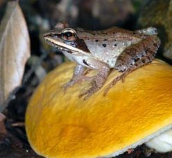 Wood Frog (Rana sylvatica) photo by Blaine Rothauser