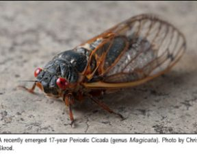 17-year Periodic Cicada. Photo by Chris Skrod.