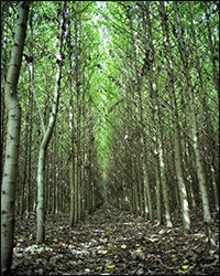 Hybrid poplar trees (Genus: Populous) like those shown being farmed in this photograph are often used for phytoremediation. Phytoremediation addresses environmental issues through the use of plants capable of mitigating pollution without the need to excavate contaminated material. Credit: National Renewable Energy Laboratory.