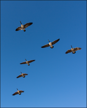 Formation of Canada Geese. Credit: Flickr.com/donjd2 (Don DeBold)