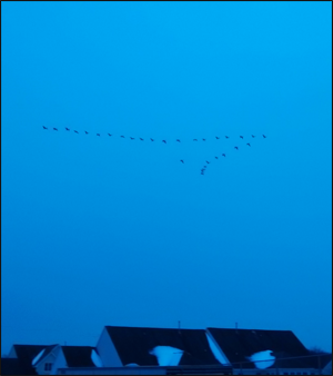Geese in flight over NJ. Credit: Ann Campbell
