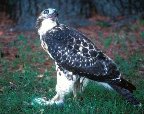 Red Tailed Hawk On Squirrel B Rothauser