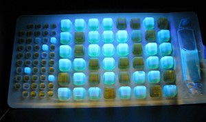 Fluorescing wells are positive for E coli.