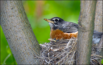 American Robin by William H. Majoros (Wikimedia.org - CC share alike)
