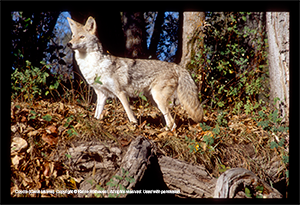 Coyote (Canis latrans). Copyright © Blaine Rothauser. All rights reserved. Used with permission.