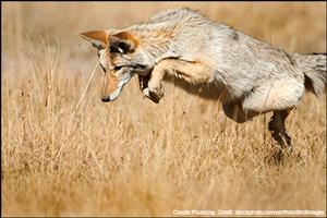 Coyote Pouncing. Credit: iStockphoto.com/portfolio/BirdImages