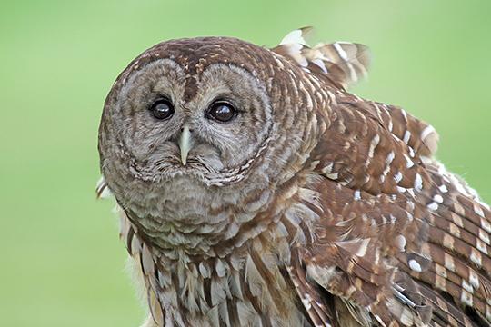 Moonlit Owl Prowl - GSWA