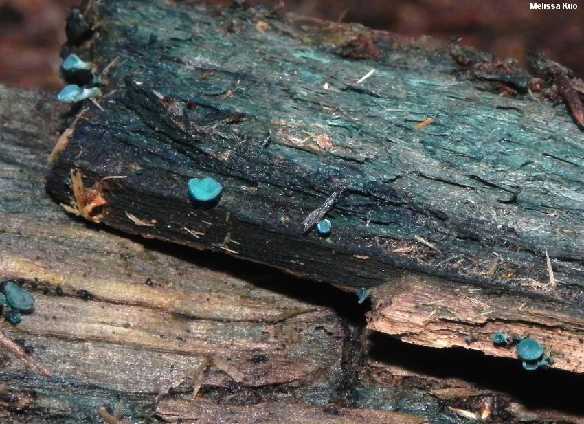 Elfcup fruiting bodies (Cholorociboria aerugenscens)